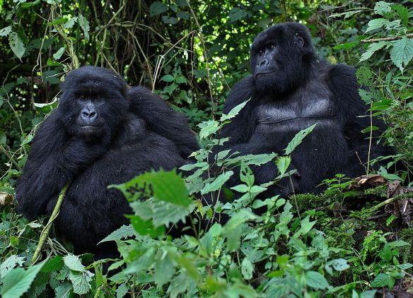 gorillas snares, gorillas free themselves from traps